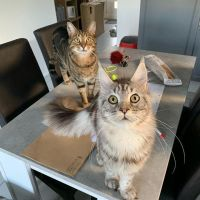 Free Maine Coon Kittens