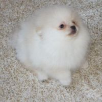 Available  male and female Pomeranian Puppies Ready For New Homes