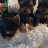 Cutes boys and girls Yorkshire Terrier puppies ready