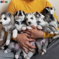 Gorgeous Siberian Husky puppies ready to go now