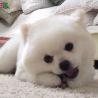 Amazing Pomeranian Puppies Available for sale