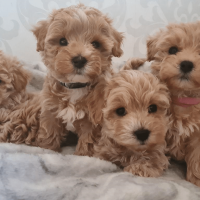 We have stunning Maltipoo puppies ready for their new homes