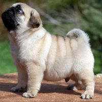 Purebred Male and Female Pug Puppies