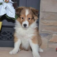 stunning  Shetland Sheepdog Puppies Are Now Ready