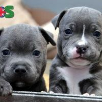 staffy puppies for good homes
