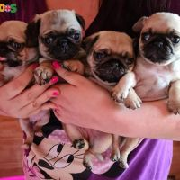 Beautiful Kc Registered Pug Puppies For Sale (ready This Wee