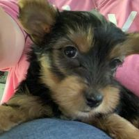 brave Yorkshire Terrier Puppies For Sale.