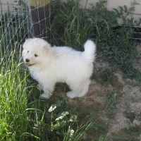 Lovely Samoyed for adoption