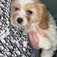 KC Registered Cavachon Puppies