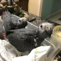 Baby African Grey