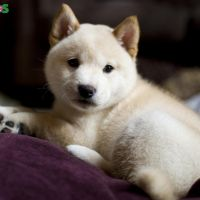 Adorable Young Cute Shiba Inu for Sale