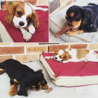 King Charles Cavalier Spaniel puppies for adoption