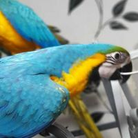 Lisa Super Tamed Blue And Gold Macaws