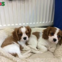 Cute and Adorable Cavalier King Charles Spaniel Puppies