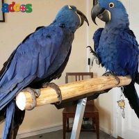 Buy Hyacinth Macaw Parrots