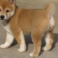 Healthy Male and Female Shihba Inu puppies