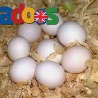 Parrots And Parrot Eggs Availablr