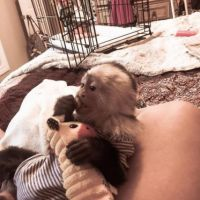 Home Trained Baby Capuchin Monkey available