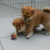 Well Socialized Shiba Inu Puppies Ready For New Home