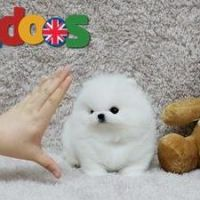Lovely and sweet Pomeranian puppies