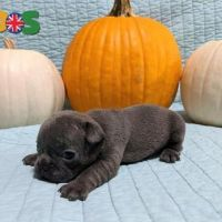 active French Bulldog Puppies For Sale.