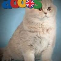 Buy British shorthair kittens for sale