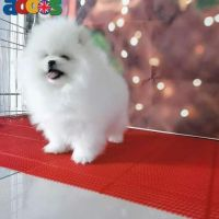 kc registered Pomeranian for sale