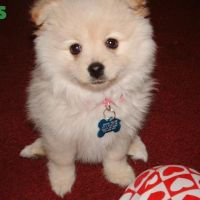 Colourful pomeranian puppies for adoption