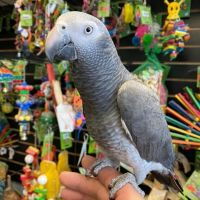 Tame African Grey For Sale