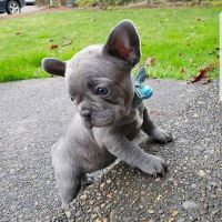 Beautiful French bulldog Looking for Good Home