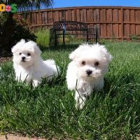 Registered Maltese Puppies available Whatsapp :  +447451223589