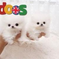 Cute t-cup pomeranian puppies for sale