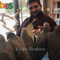 Hand Reared African Grey Parrots For Sale.