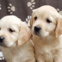 Golden retriever puppies available for rehoming