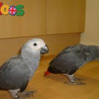 African Gray Parrot with excellent pedigree WhatsApp +44 7459 919187