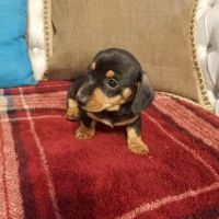 agile Dachshund Puppies For Sale.