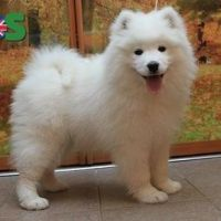 KC registered Samoyed puppies