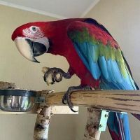 The Sulfur Crested Cockatoo parrot ready for adoption.