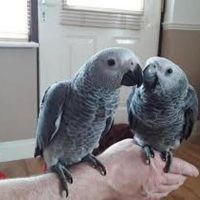 super tame African Greys is now ready to go