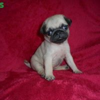 Two Beautiful Pug Puppies Available for sale