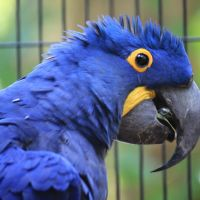 Fully Tame Hyacinth macaw for sale