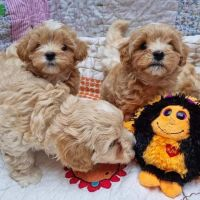 Extremely tiny Maltipoo puppies
