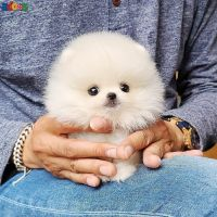 Adorable male and female Pomeranian puppies looking for a new home the
