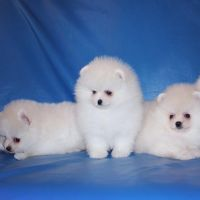 Cute Female AKC registered Pomeranian Ready for new home