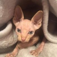 Canadian Sphynx Kittens Apricot With Blue Eyes