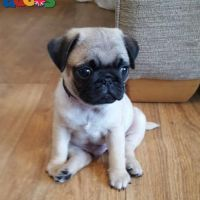 Pug Puppies Ready For a New Home