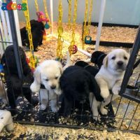 Adorable KC reg Labrador retriever puppies