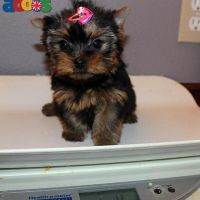 Yorkshire Terrier Mini Toy Puppies Gift,