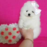 Buy Teacup Pomeranian Puppies For Sale