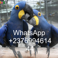 Hyacinth macaws Anodorhynchus hyacinthinus for sale whats-app us